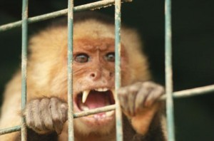 Capuchin Looking Nasty